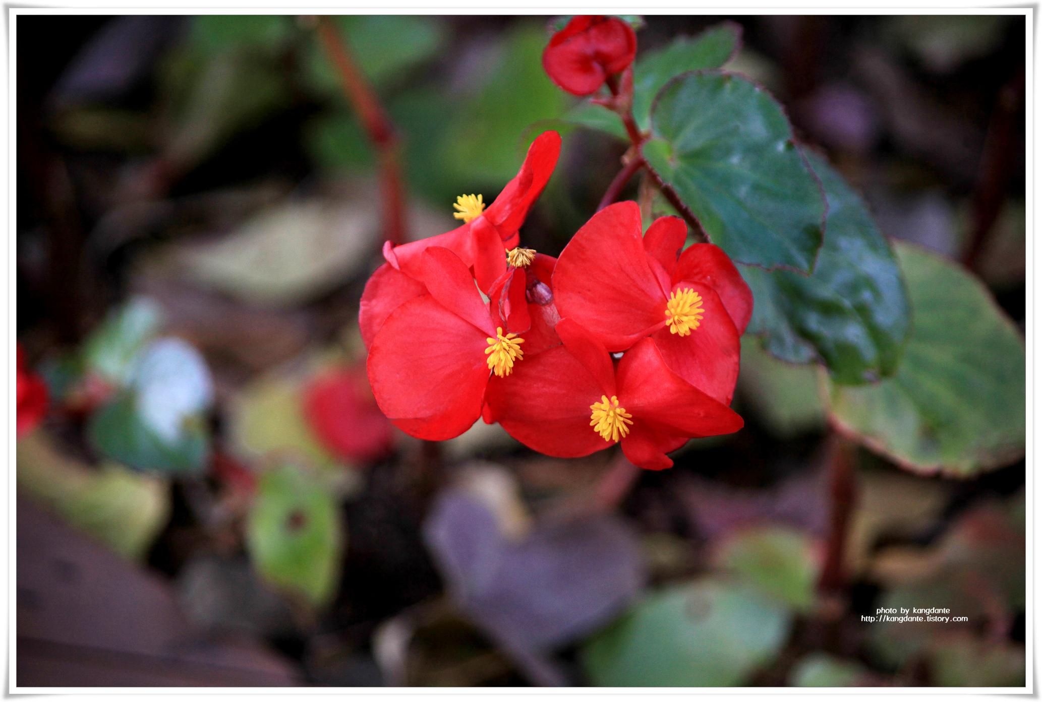 붉어서 더 화려한 베고니아(Begonia)