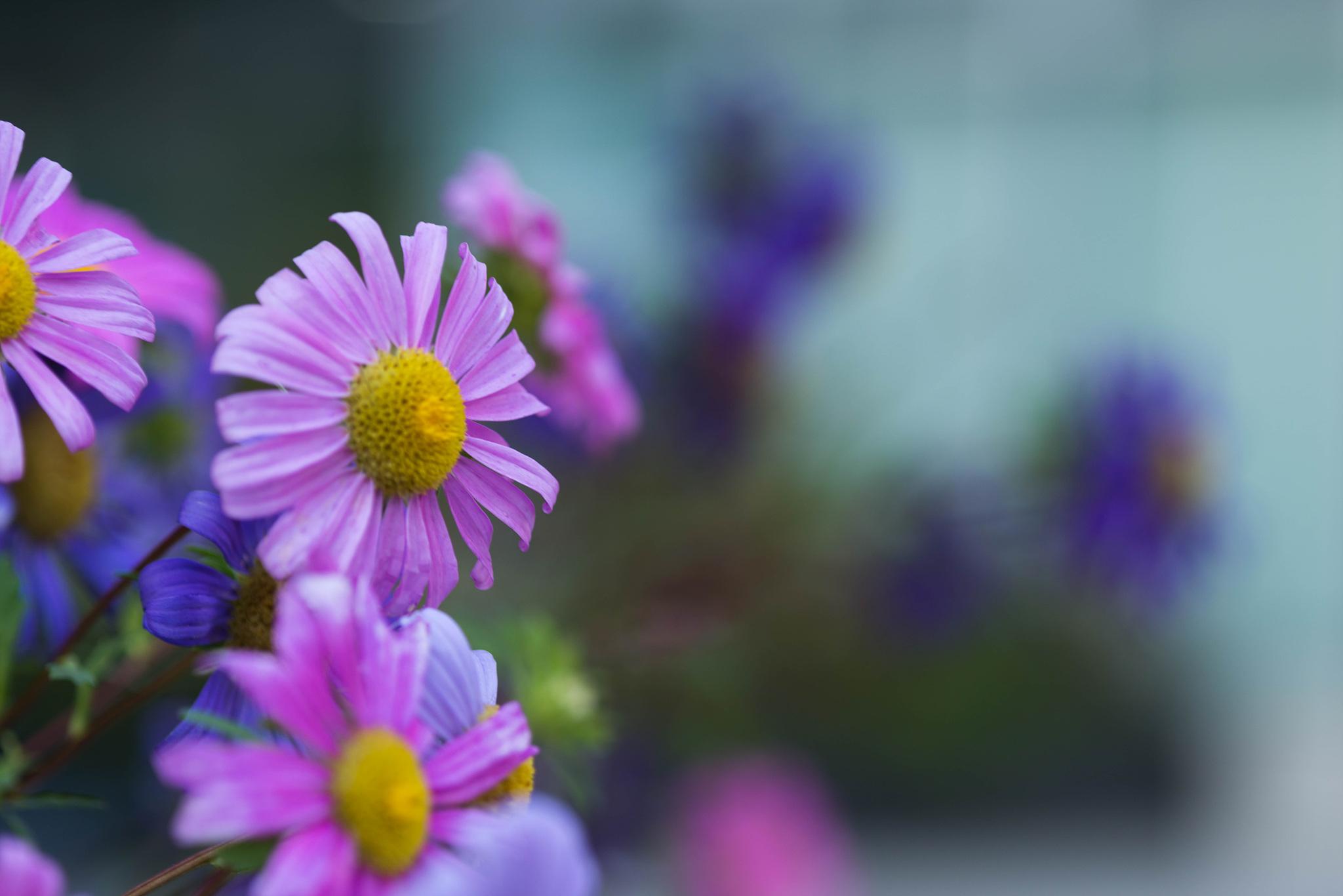 서울 숲에서 (과꽃)