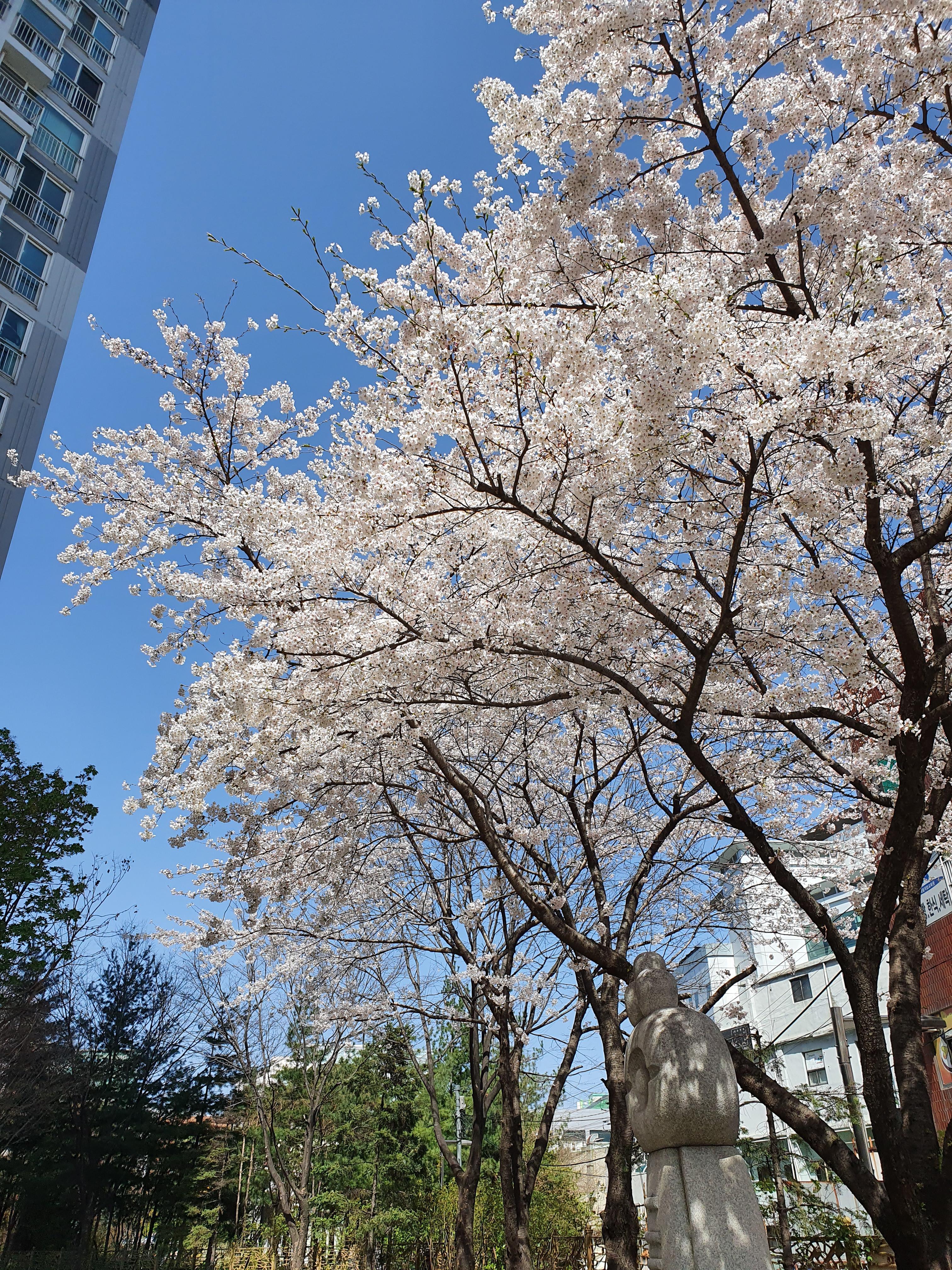 토요일, 병원가는 길(2) : 이렇게라도 만나서 반가웠던 벚꽃... 안녕