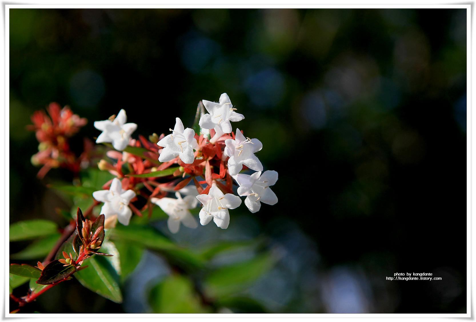 종 모양의 하얀 꽃, 꽃댕강나무꽃