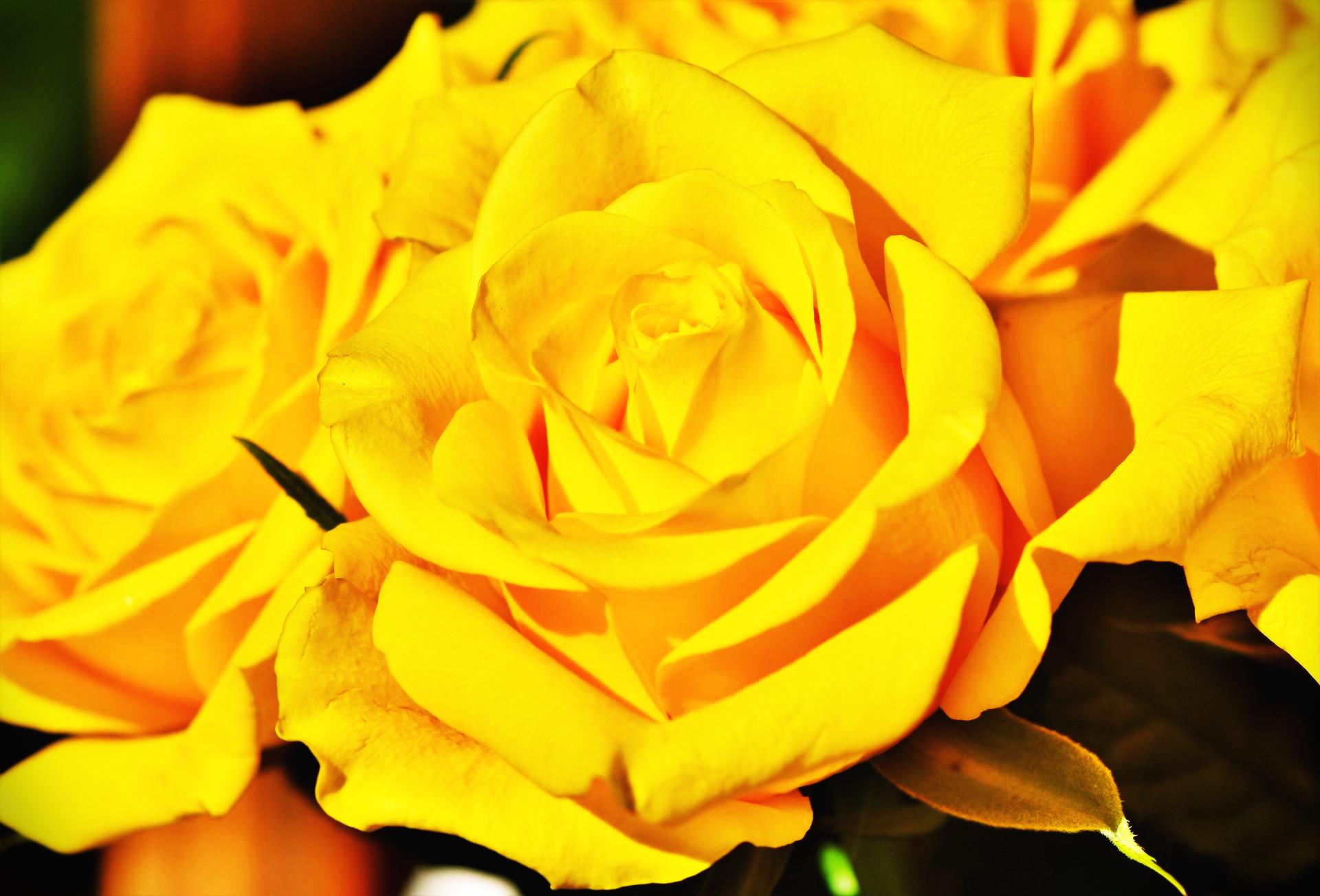 노란장미꽃말