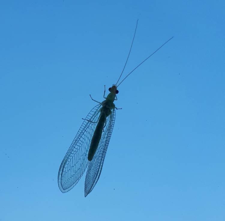 오늘의 곤충 -풀 잠자리