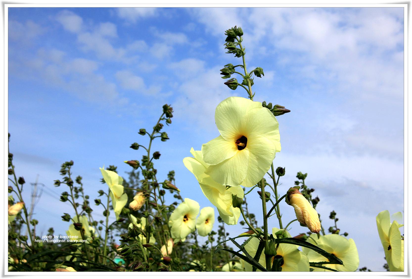 구리한강시민공원의 닥풀과 풍접초