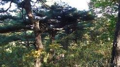 3백년된노송국유림등산로30키로형성