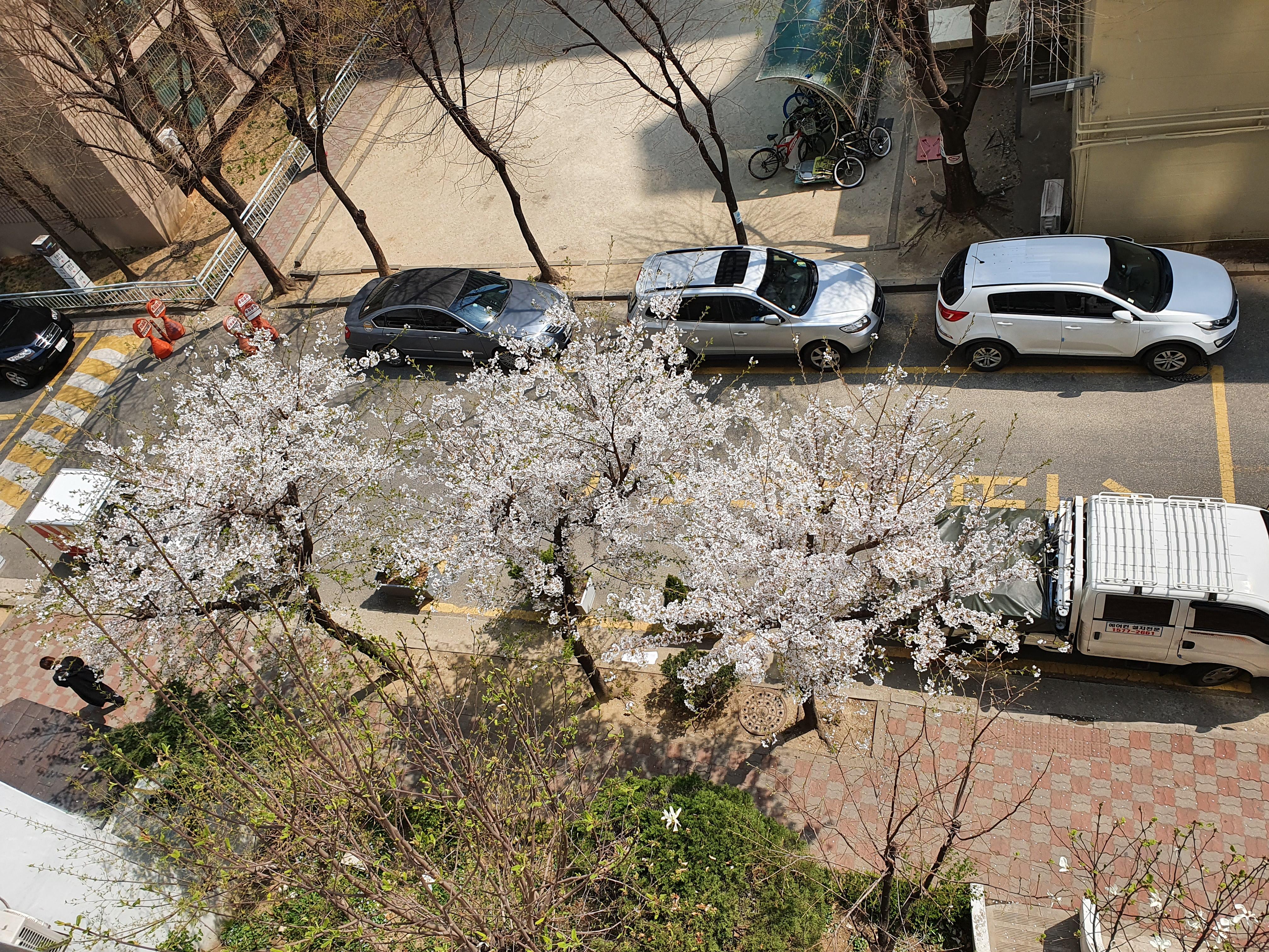 창문 열고 벚꽃 구경