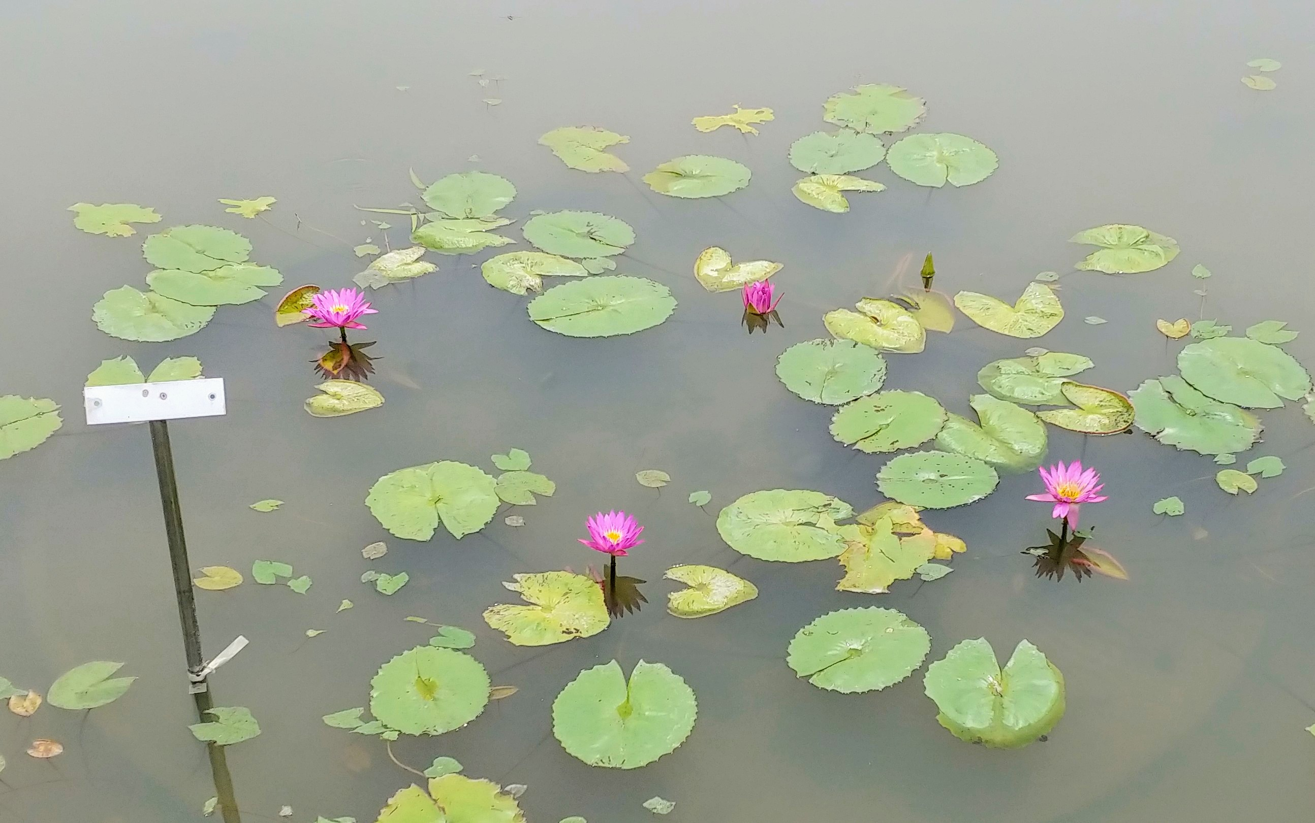 [행복찾기] 함양 상림공원 연꽃