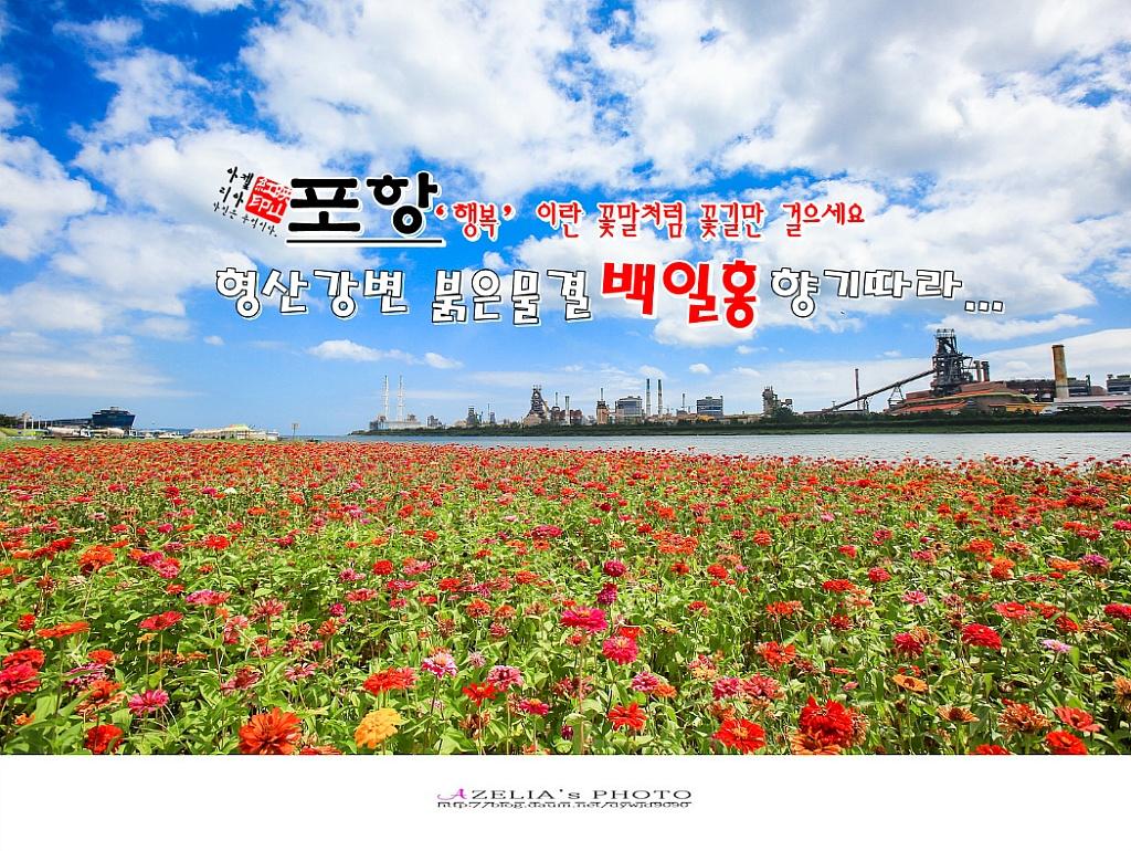 경북 포항여행3부/형산강변 붉은물결 백일홍 향기따..