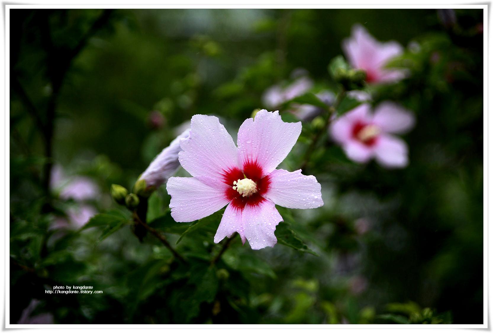 화사하고 아름다운 우리나라꽃 무궁화(無窮花)
