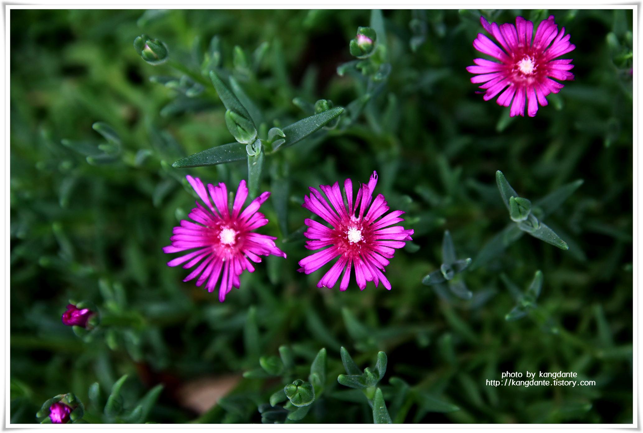 우리꽃식물원의 송엽국(松葉菊)과 백화등(白花藤)