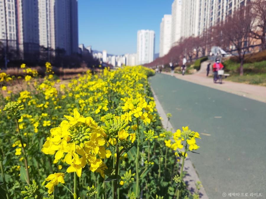 유채꽃풍경