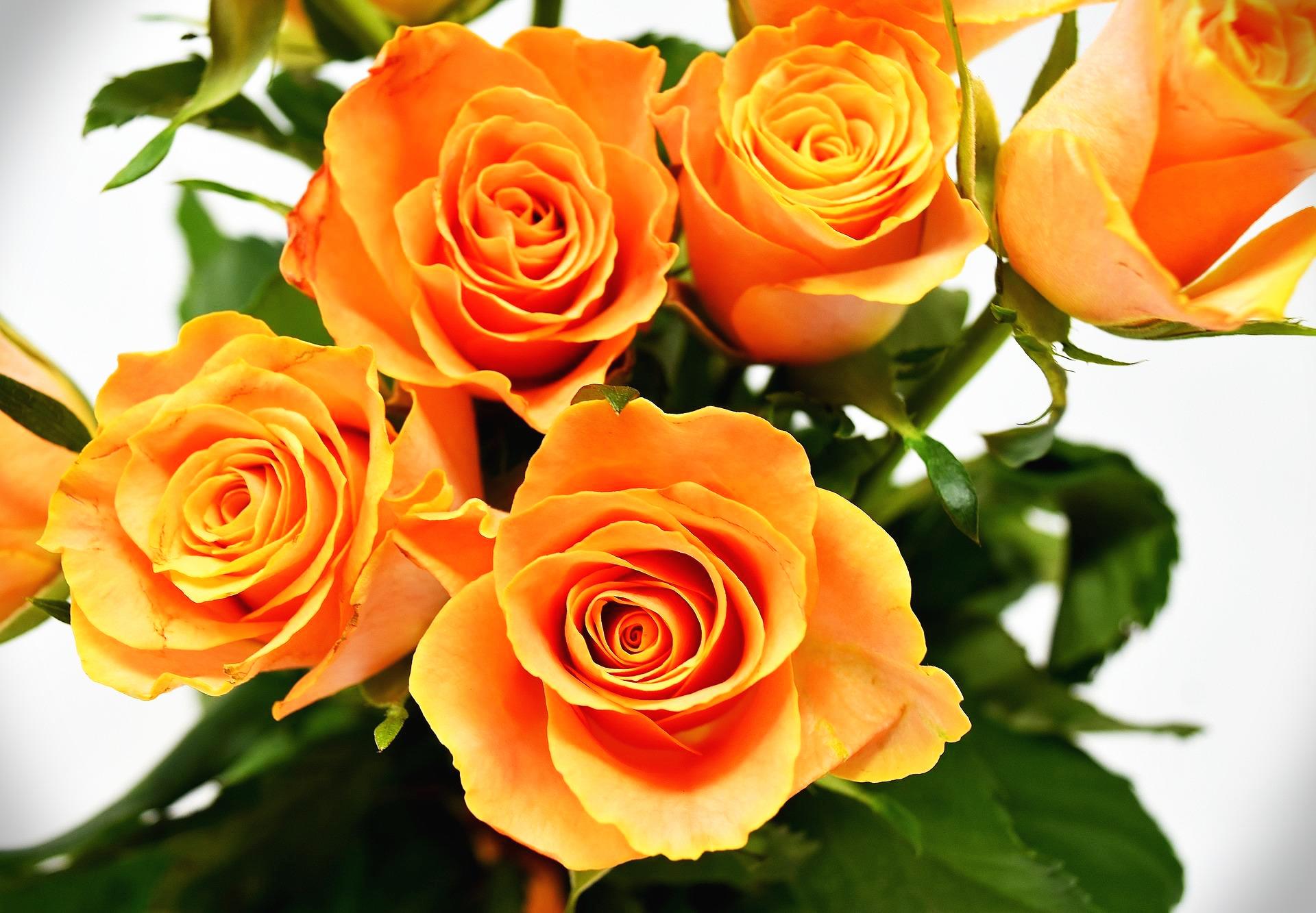 주황색장미꽃말