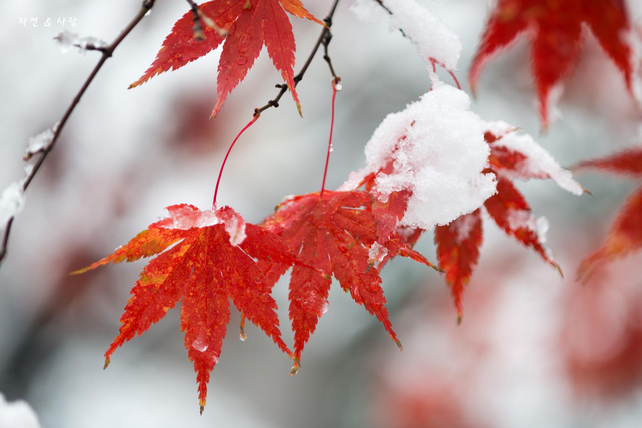 늦가을날의 눈 ('18년 11월 24일)