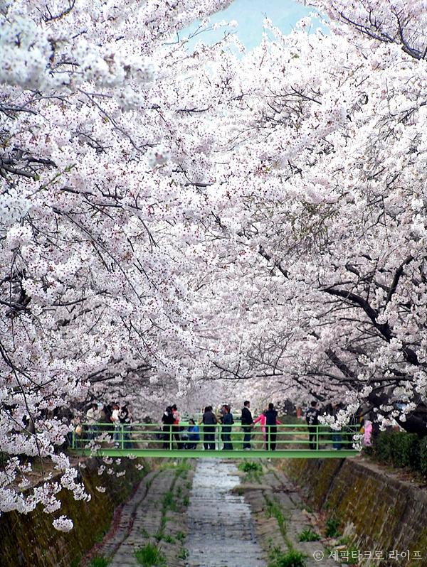여좌천벚꽃사진