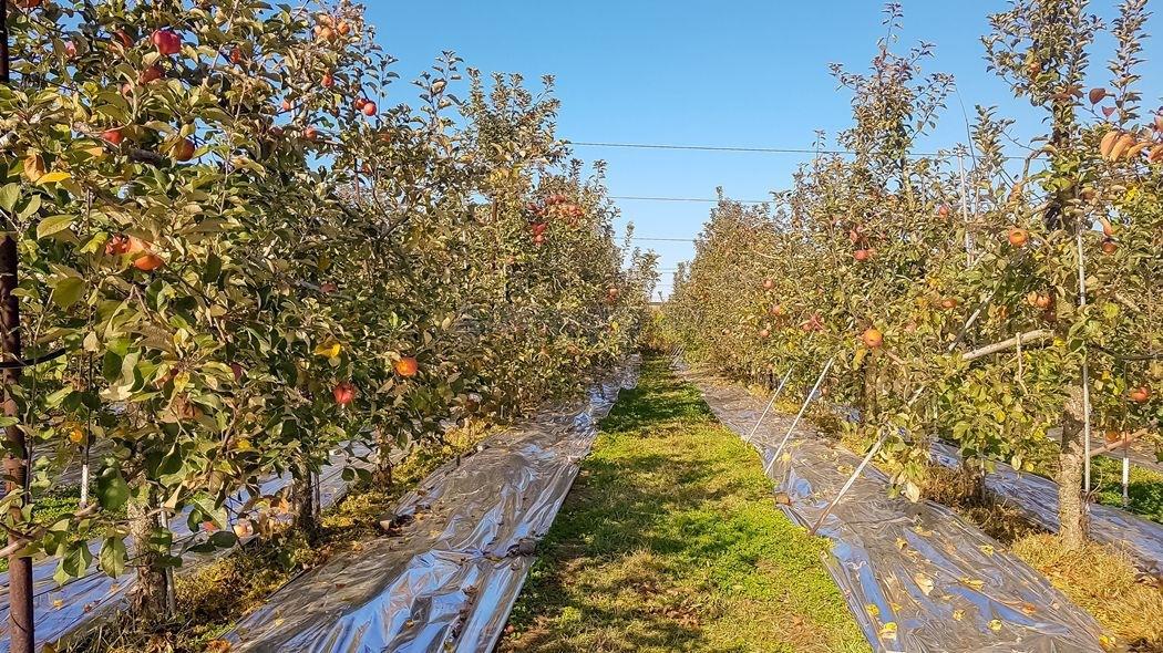 예산과 홍성(충남도청) 사이에 자리한 접근성 좋은 사과농장