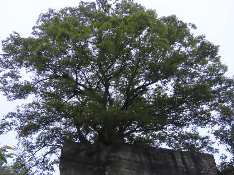말 바위 위에서 살고 있는 팽나무 부부