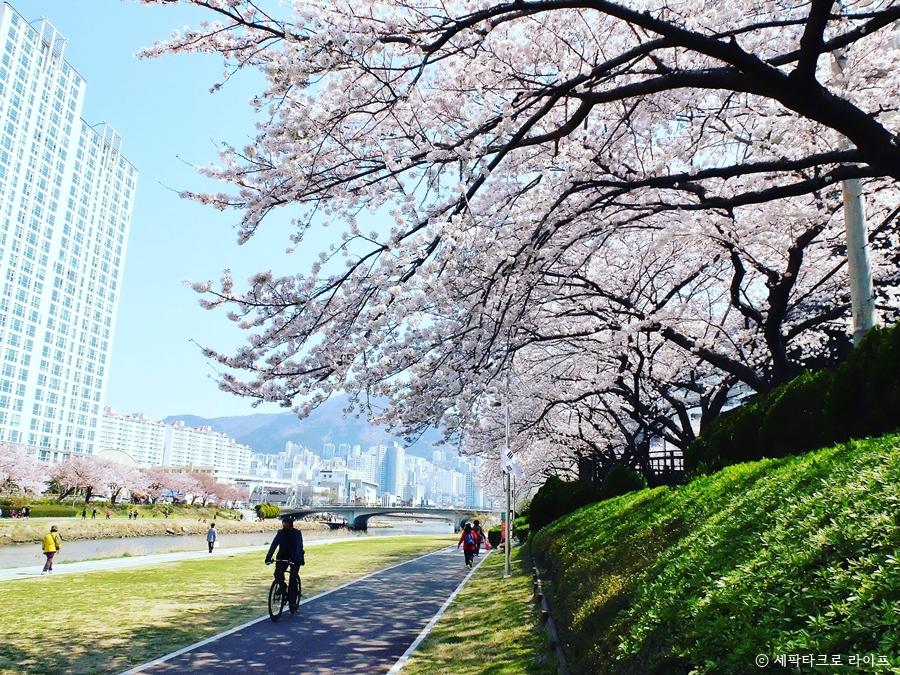 온천천벚꽃사진
