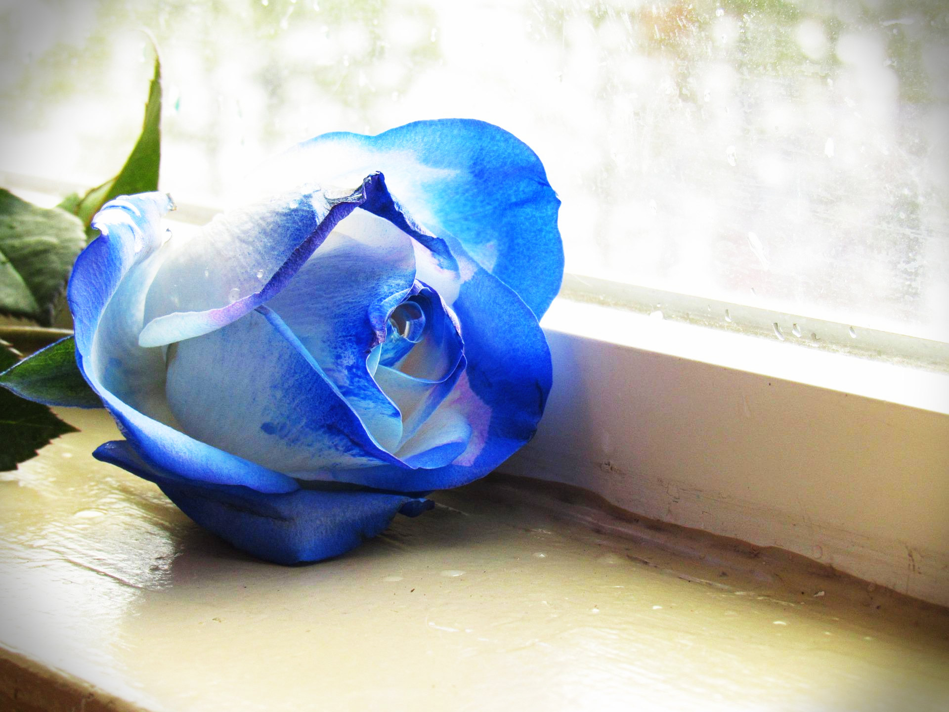 파란장미한송이