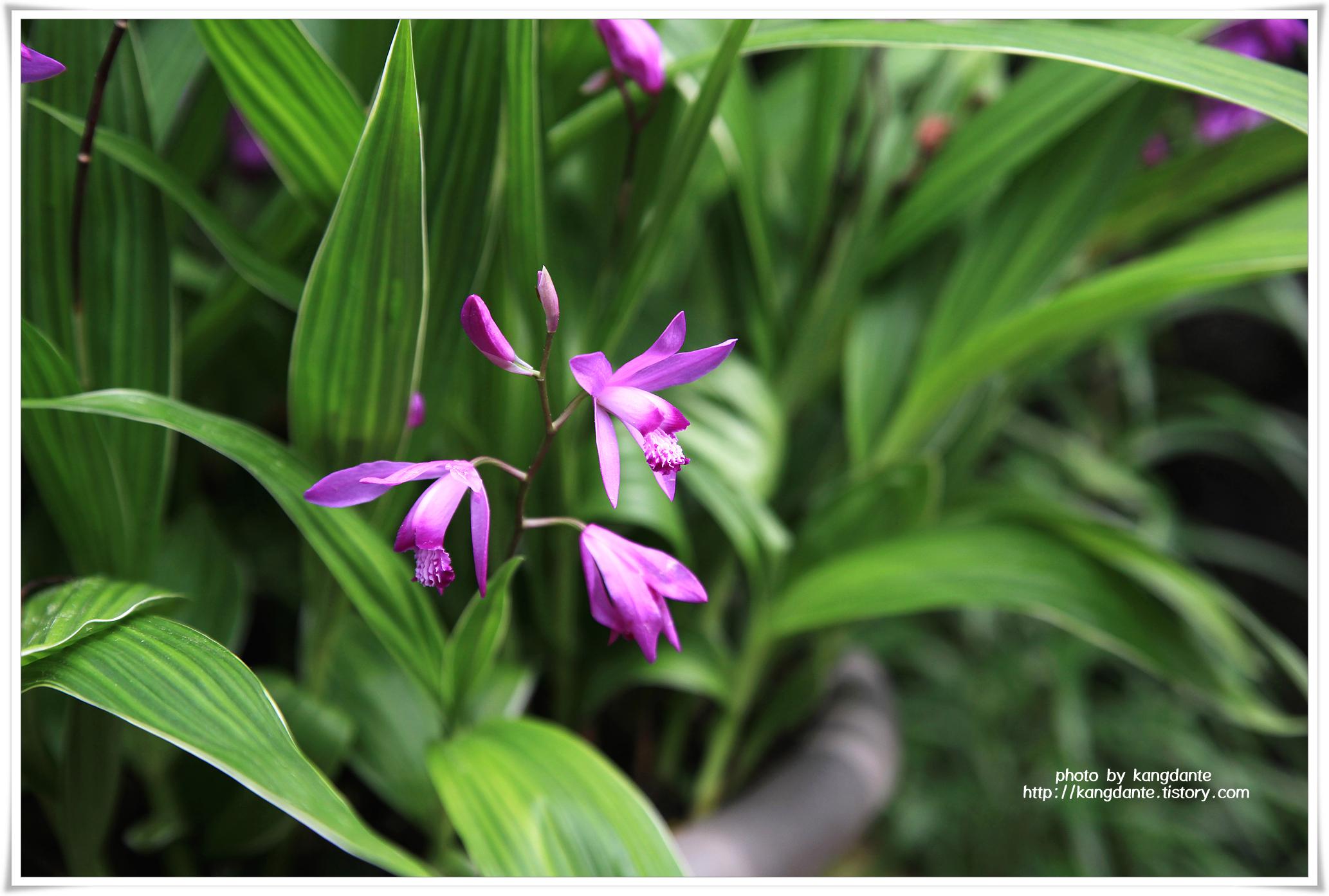 우리꽃식물원의 자란(紫蘭)과 아주가(Ajuga)