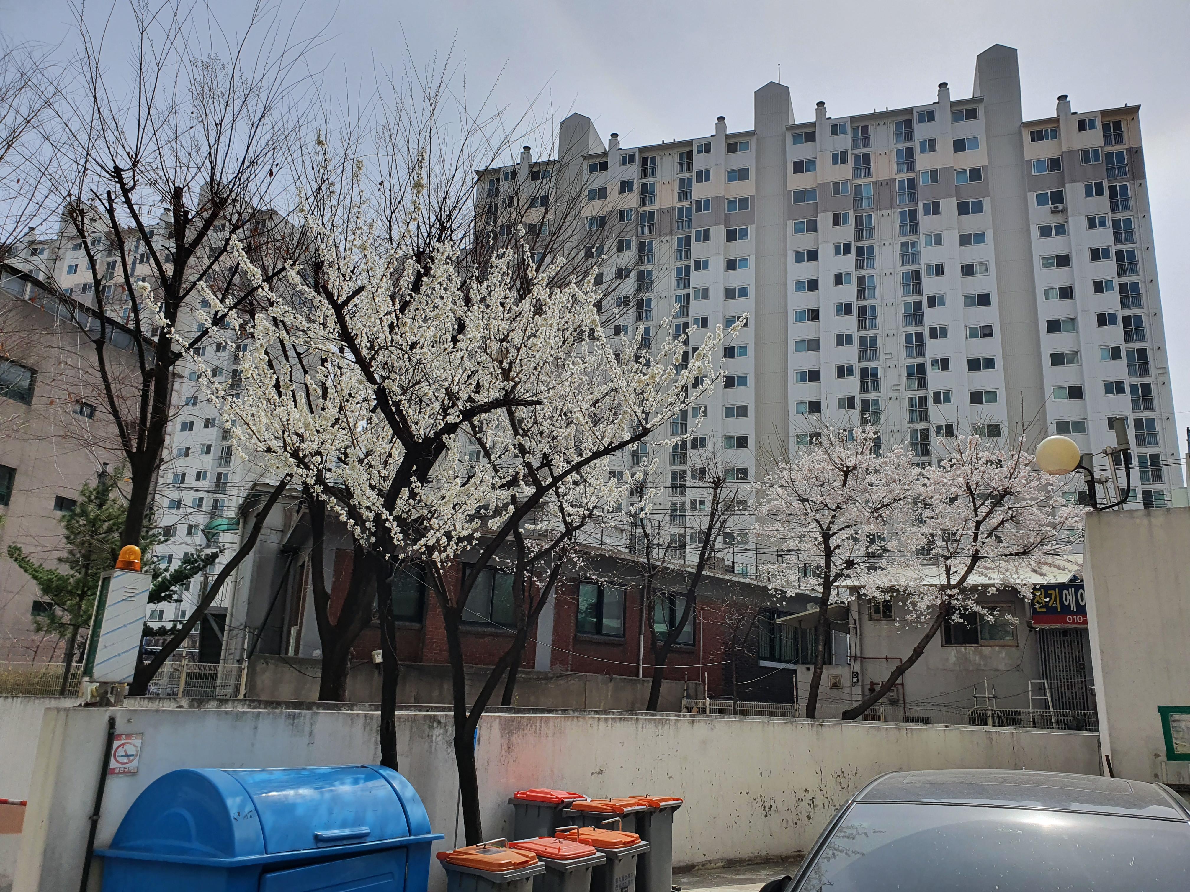 일주일만에 바깥 세상(1) : 곱게 피는 매화와 벚꽃