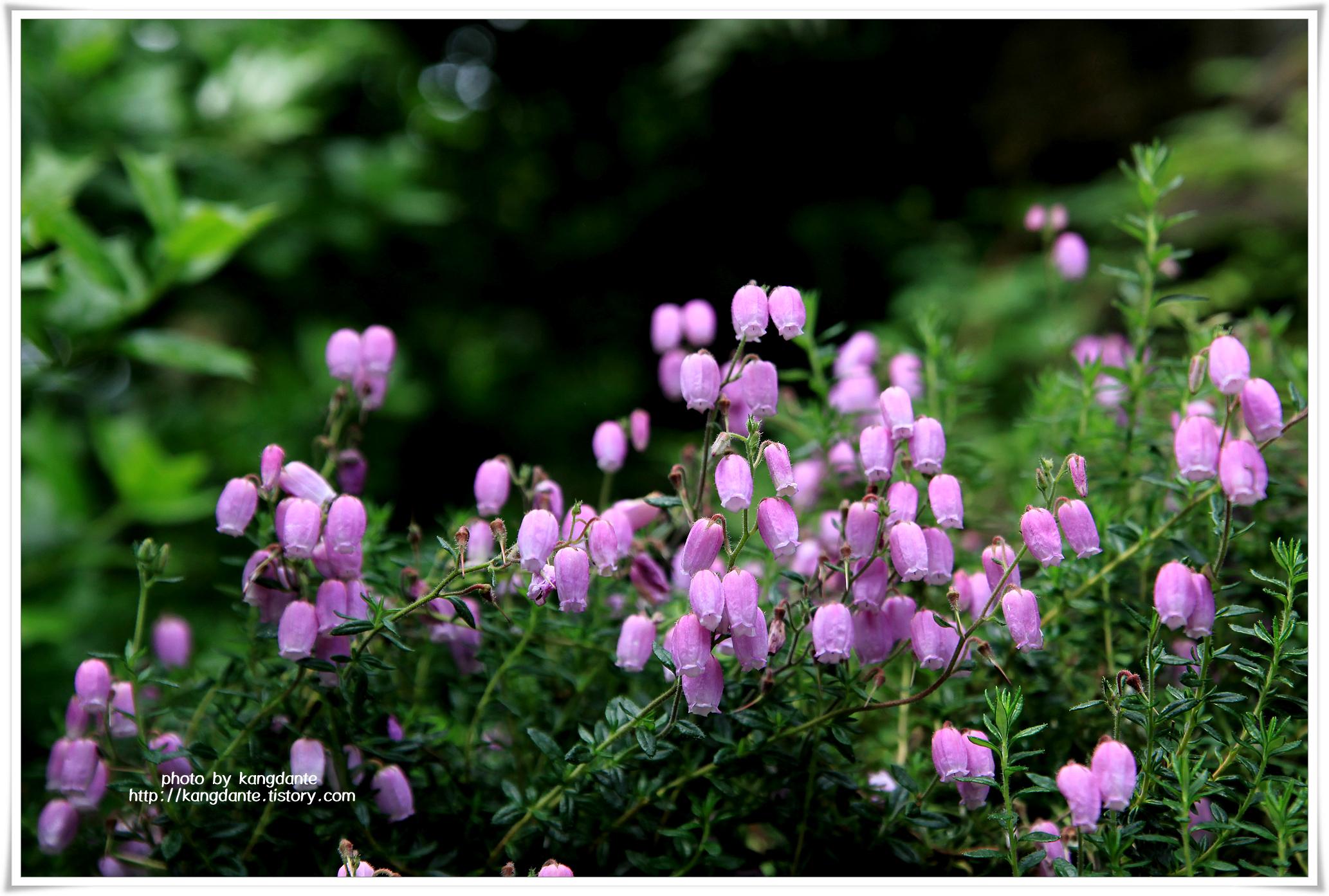 항아리 모양의 자홍색 꽃이 피는 가솔송