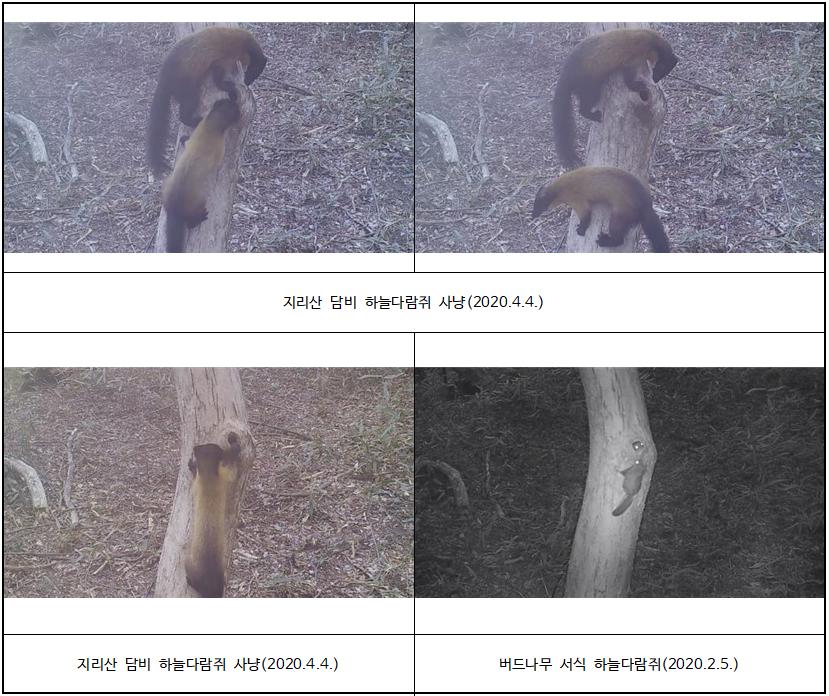 지리산과 내장산에서 멸종위기 야생생물 Ⅱ급 담비 사냥 모습 포착
