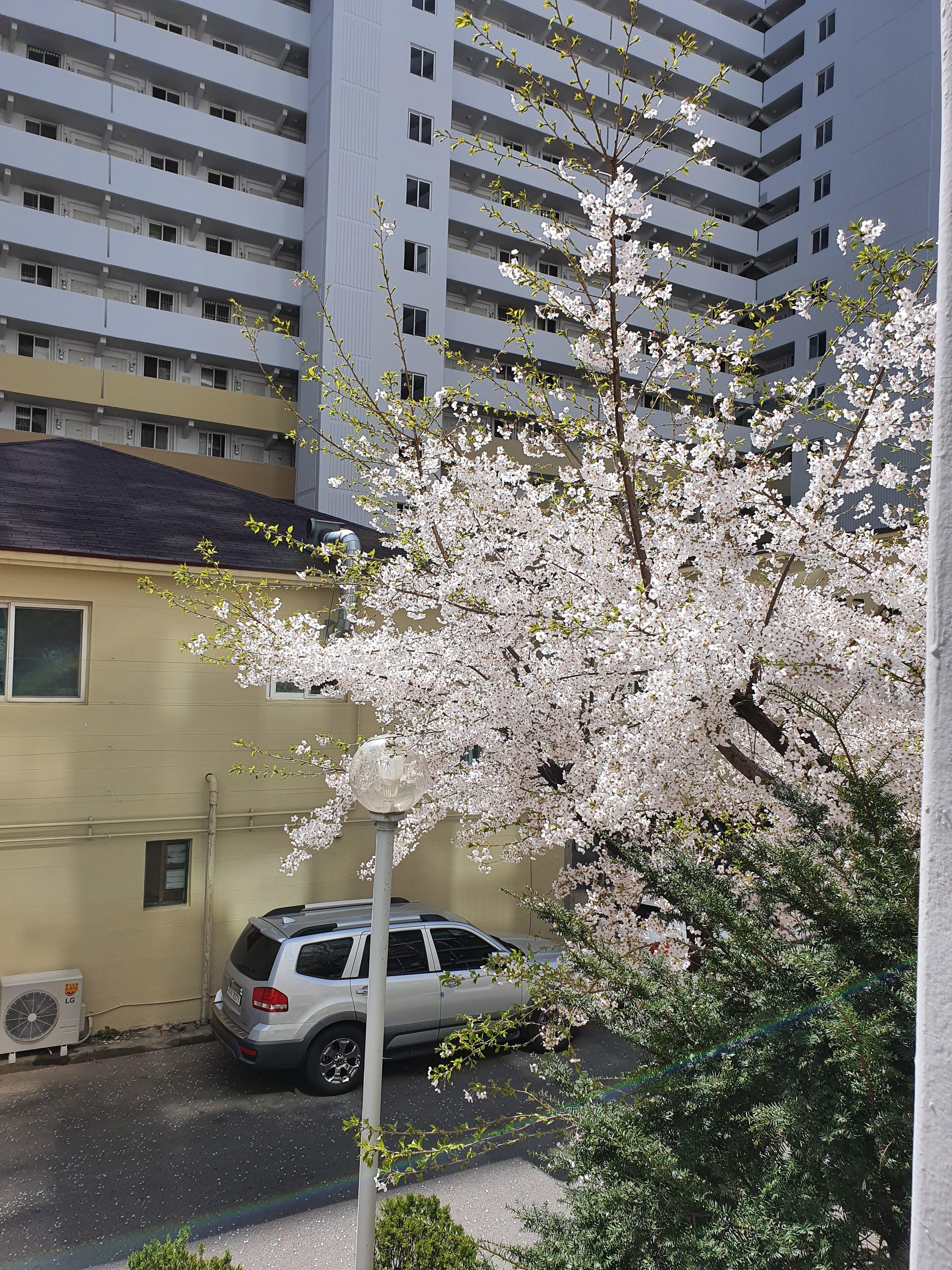 토요일, 병원가는 길(1) : 눈부시게 예쁜 벚꽃.. 슬프다