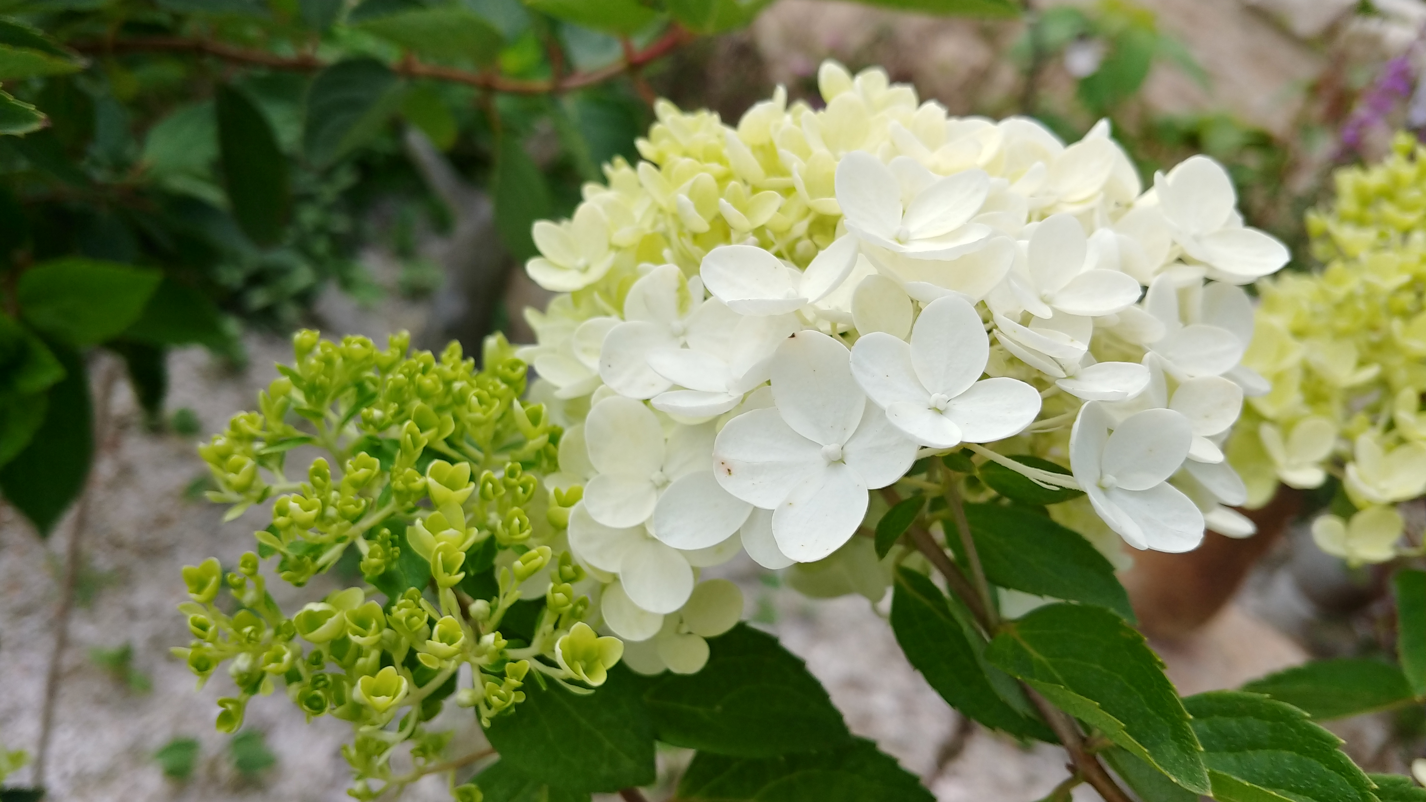 [행복찾기] 7월 죽풍원에 핀 수국, 수국꽃말은 냉정, 무정, 거만