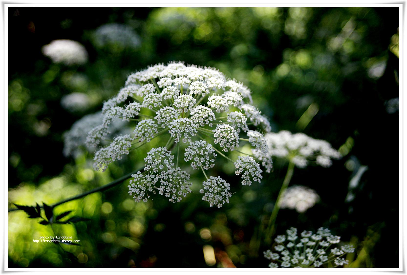 작고 하얀 꽃이 매혹적인 궁궁이