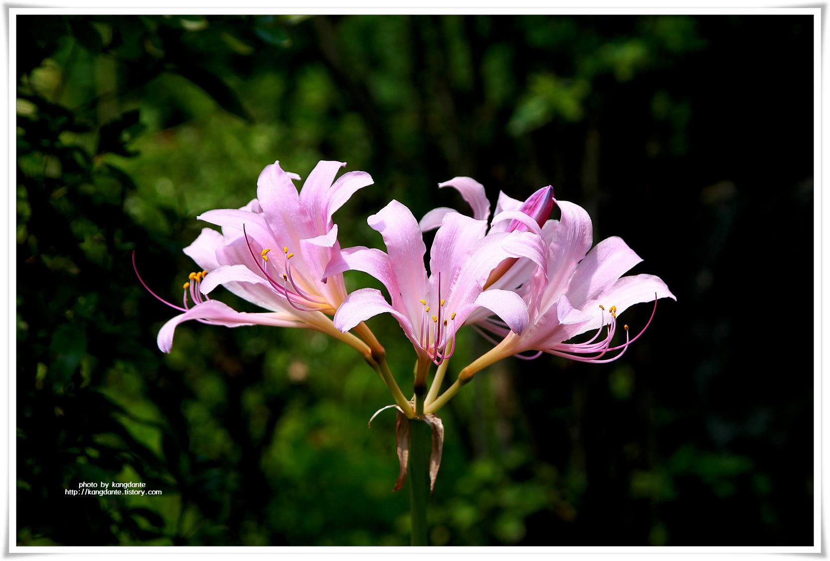 그리움을 간직한 꽃, 상사화(相思花)